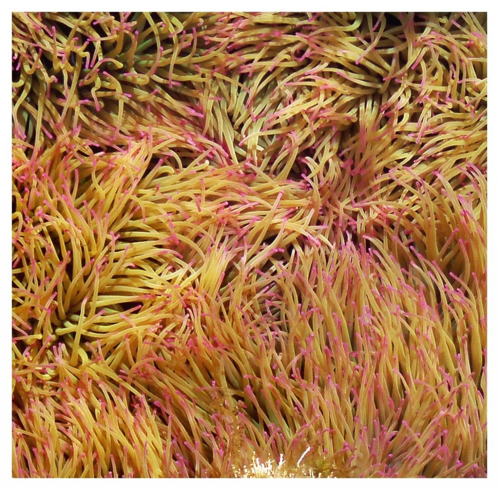 fideos de mar en un charco intermareal-La Graciosa